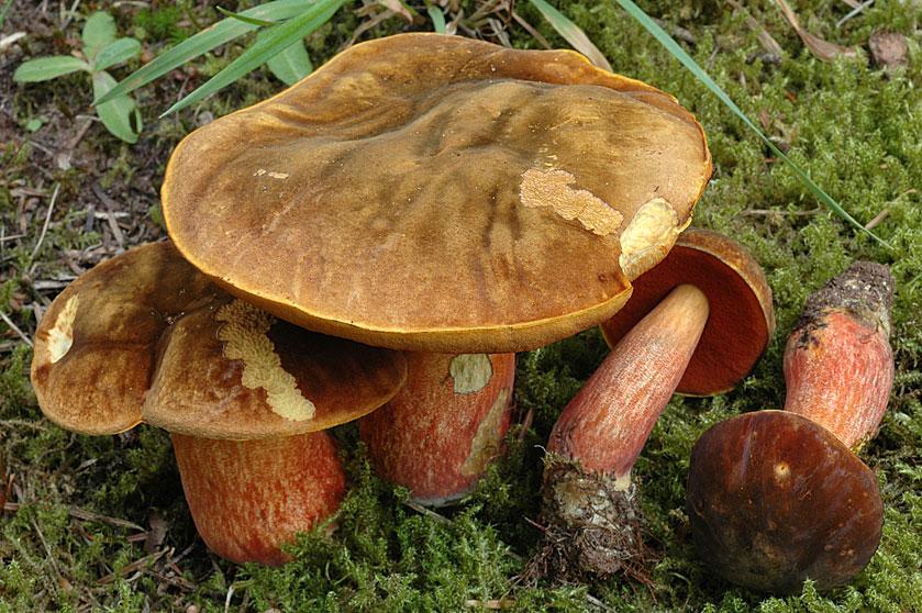 champignon pied rouge